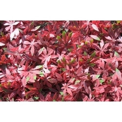 Artificial Hedging, Red Acer Leaf Panel, 100cm x 100cm - Awnings Direct