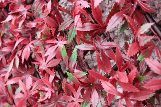 Artificial Hedging, Red Acer Leaf Trellis, 100cm x 200cm - Awnings Direct