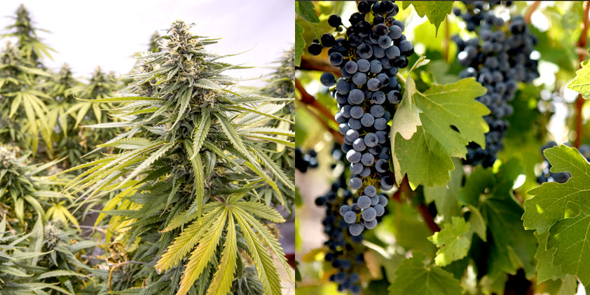 strain vs grape