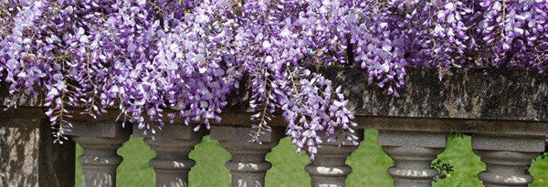 collections/beauty_0003_wisteria.jpg