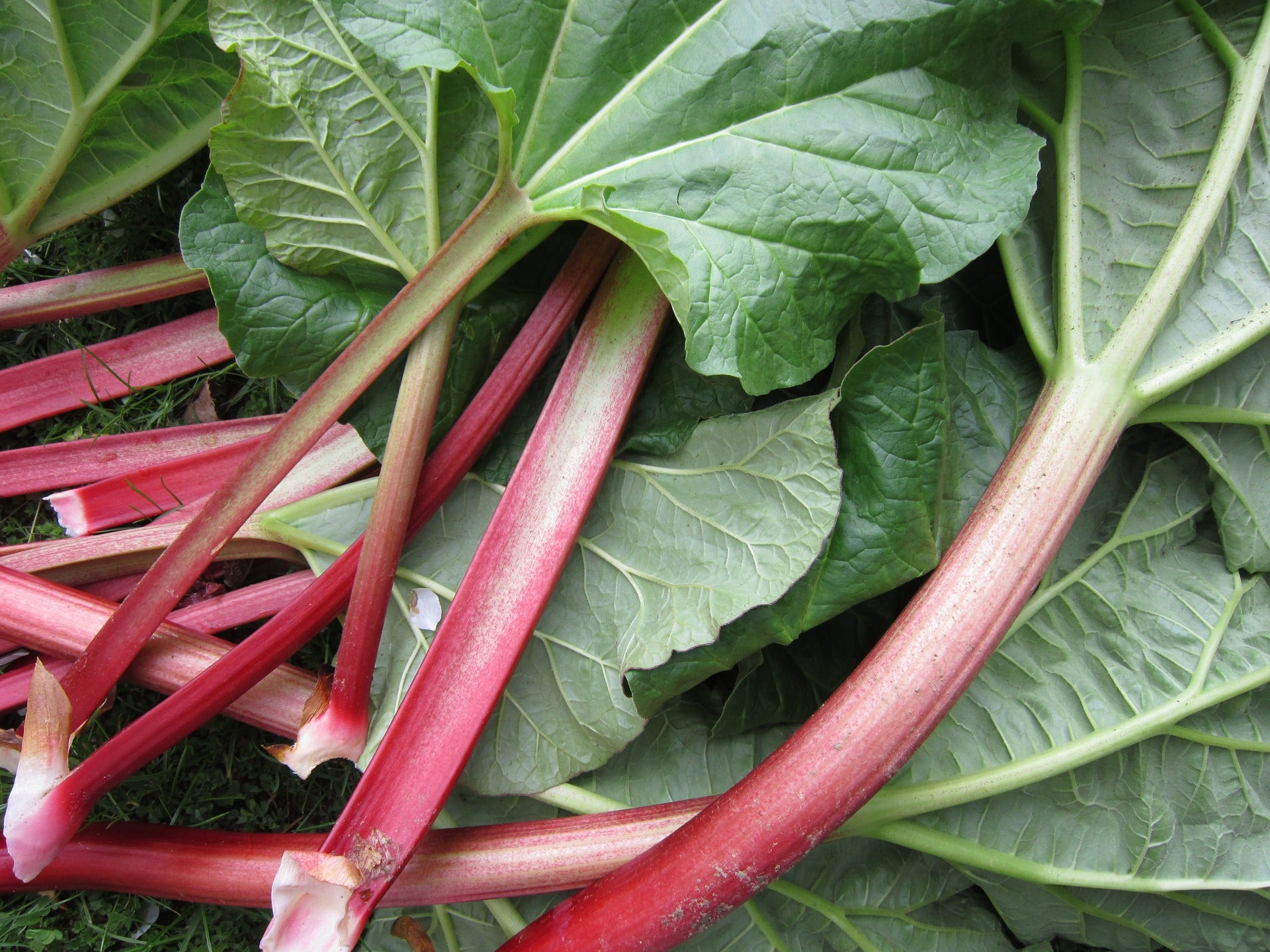 All About Rhubarb!