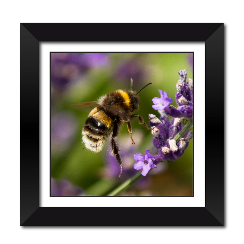 Bumble Bee in flight Framed Print