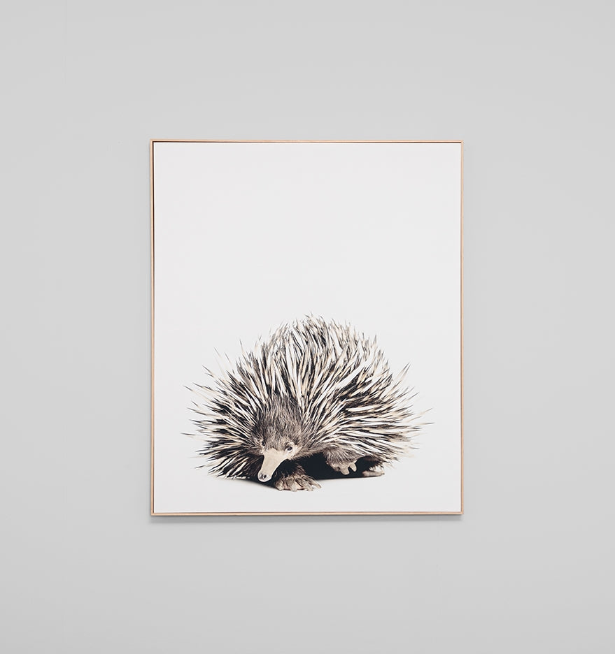 Shortbeaked Echidna Framed Canvas