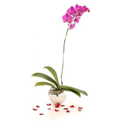 1 Stalk Of Purple Phalaenopsis Orchid In A Pot
