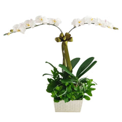 2 Stem Of White Phalaenopsis Orchid in Vase