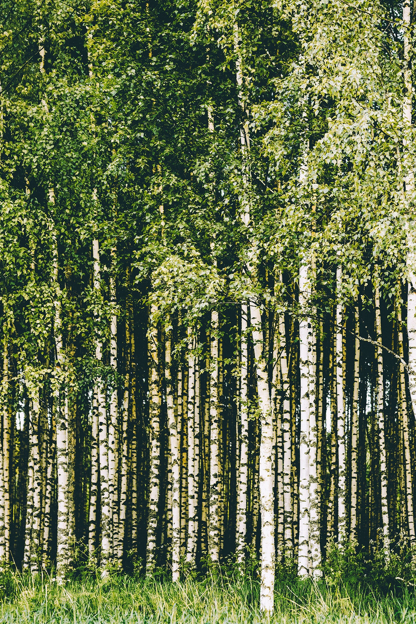 Green Tops Birches Forest Mural