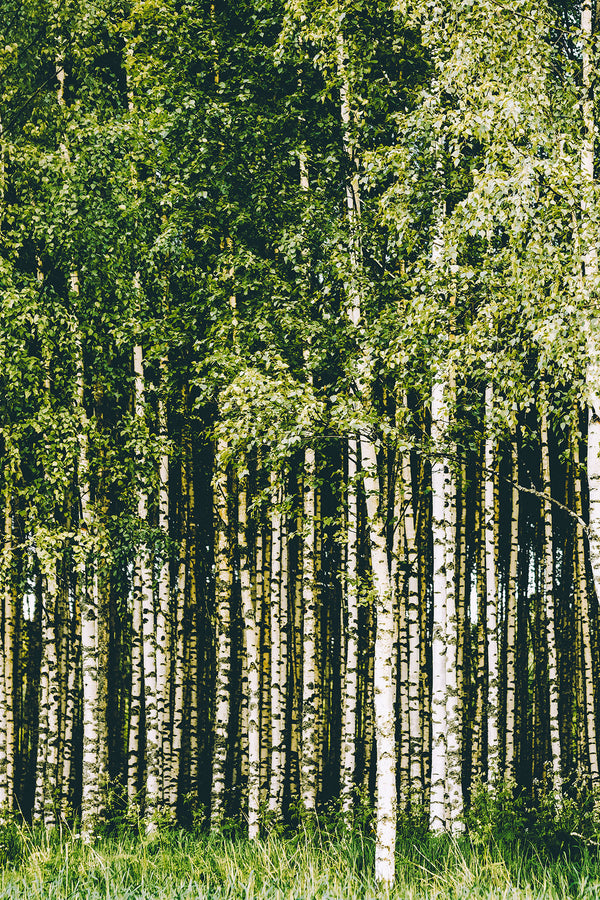 Green Tops Birches Forest Mural - WYNIL by NumerArt Wallpaper and Art