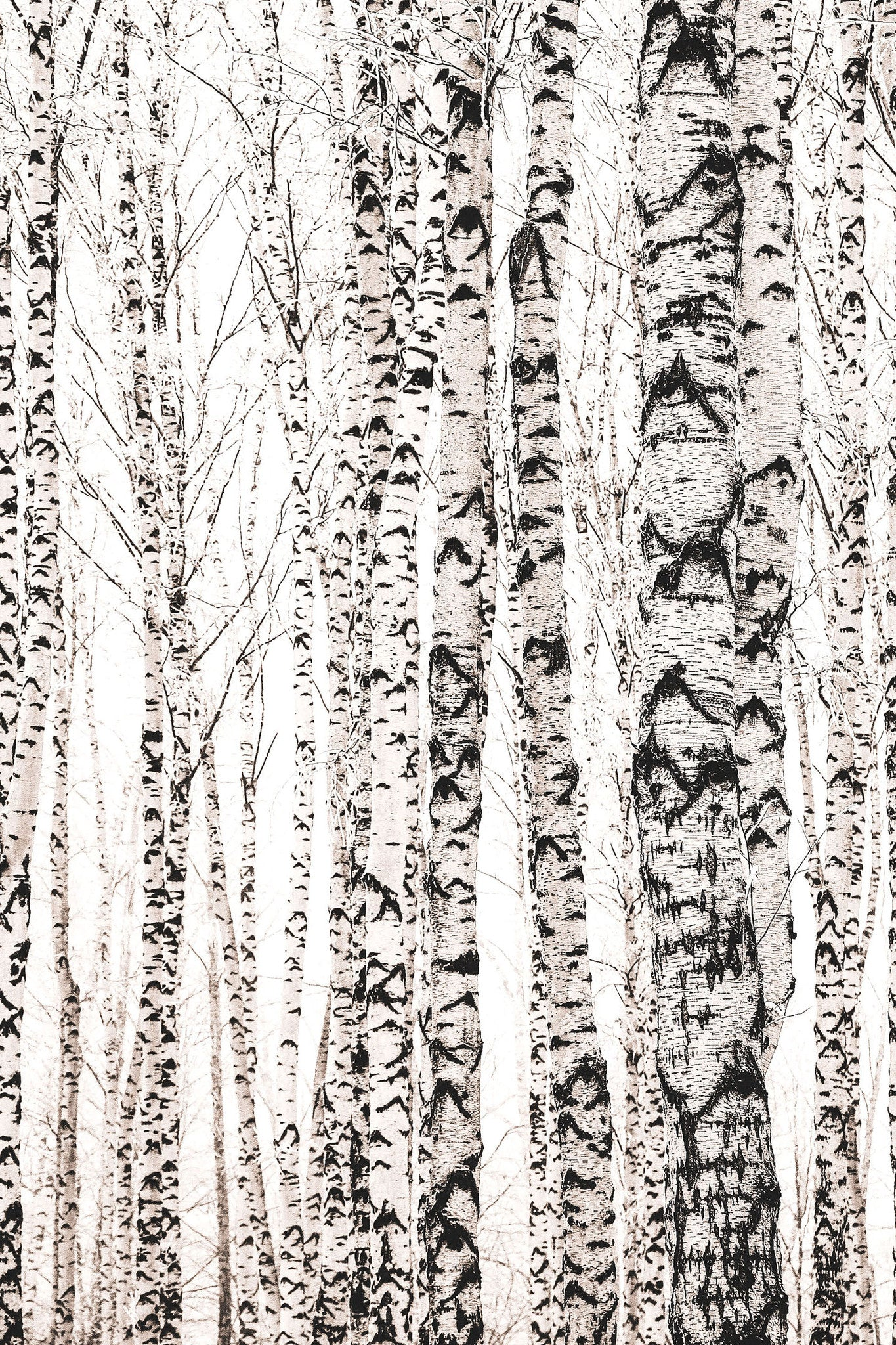 Soft Light Birches Forest Mural