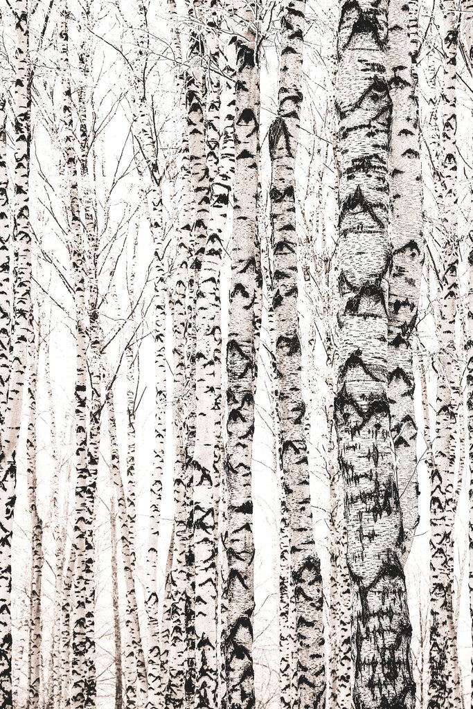 Soft Light Birches Forest Mural - WYNIL by NumerArt Wallpaper and Art