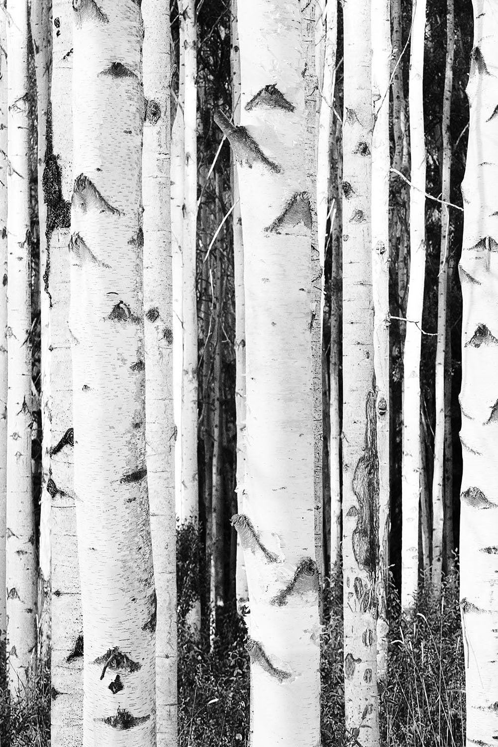 High Contrast Birches HD Mural