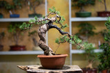 Bonsai Workshop - Conifers Plants B o o m k i - Japangarten Bonsai Wabikusa - B o o m k i