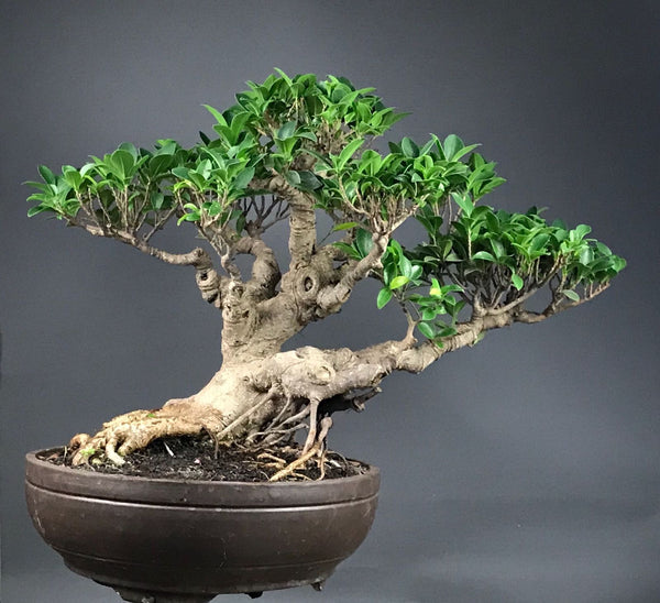 Indoor Bonsai:  Ficus Retusa Plants B o o m k i  - B o o m k i