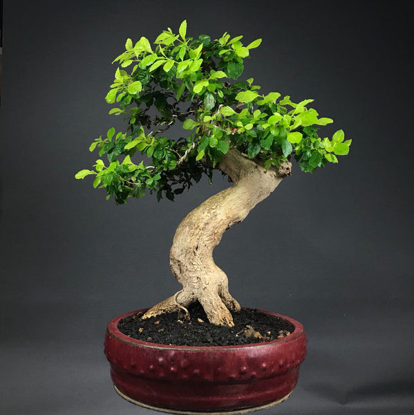 Indoor Bonsai: Durantha, Tropical Yamadori Plants B o o m k i  - B o o m k i