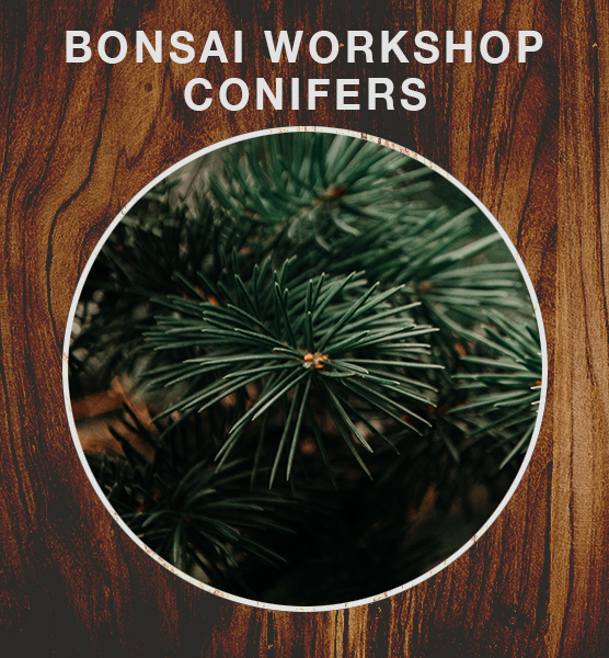 Bonsai Workshop - Conifers