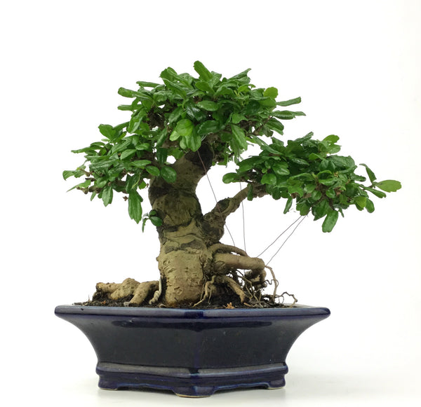Indoor Bonsai: Carmona Microphylla, Fukien-tea