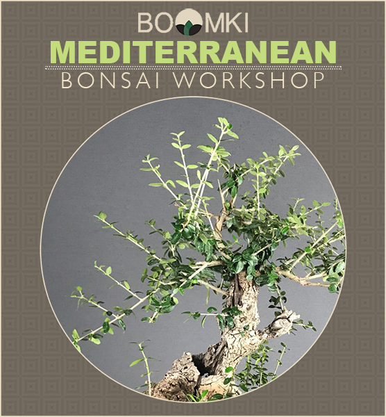 Mediterranean Bonsai Workshop (€150 Bonsai Included) Plants B o o m k i  - B o o m k i