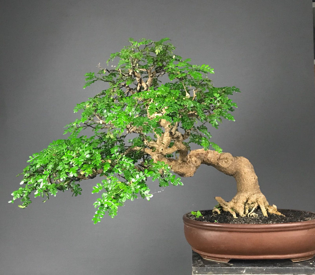Traditional Bonsai: Pepper Tree - Zanthoxylum piperitum Plants B o o m k i  - B o o m k i
