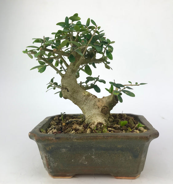 shohin wild olive, berlin, bonsai enthusiast,