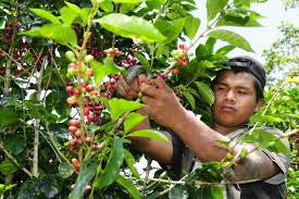 Rising cost of Green Coffee