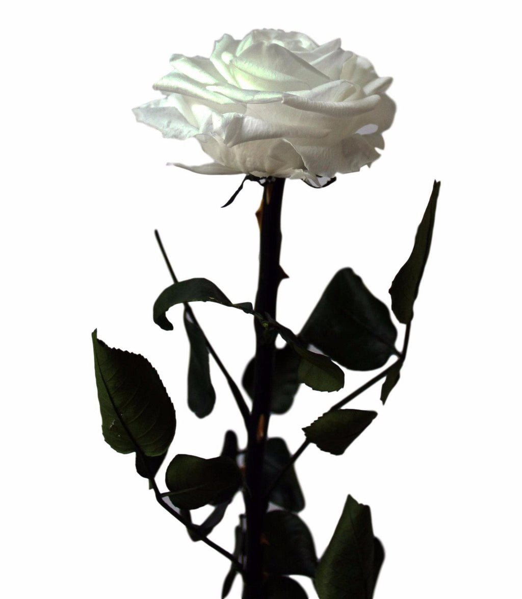 Long Stem Rose - White - INFINI roses that last a year