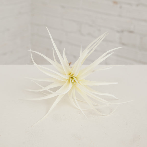 Small White Air Plant