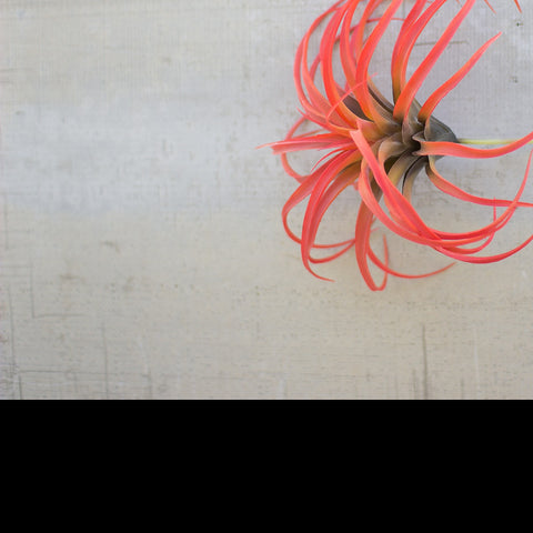 Flocking Red Air Plant