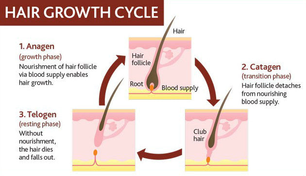 hair beard growth cycle
