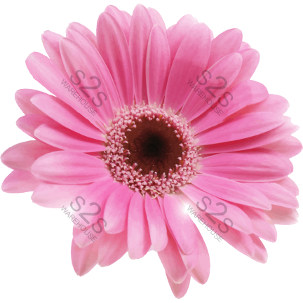 Press Ready - Pink Gerber Daisy