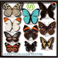 Science Techni Colour Lepidoptera Scholar's Private Specimen Acrylic Mascot