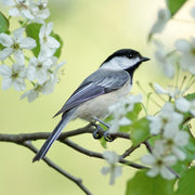 Spring Chickadee Teaser Puzzle