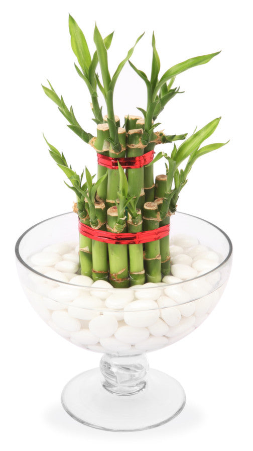 Feng Shui Bamboo Plant In A Glass Vase With Pebbles Shamuns Flowers