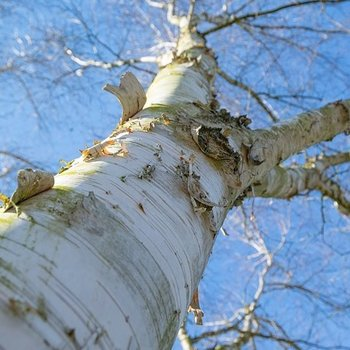 Birch tree  essential oils