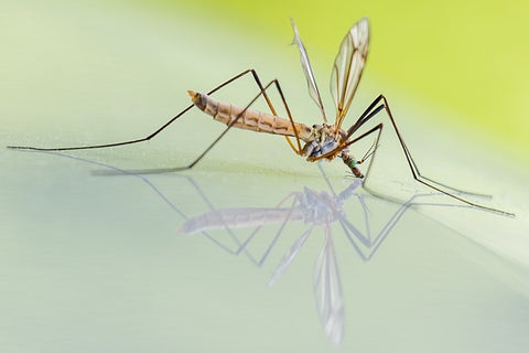 Natural mosquito repellents