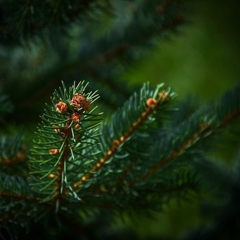 Fir needle natural essential oil