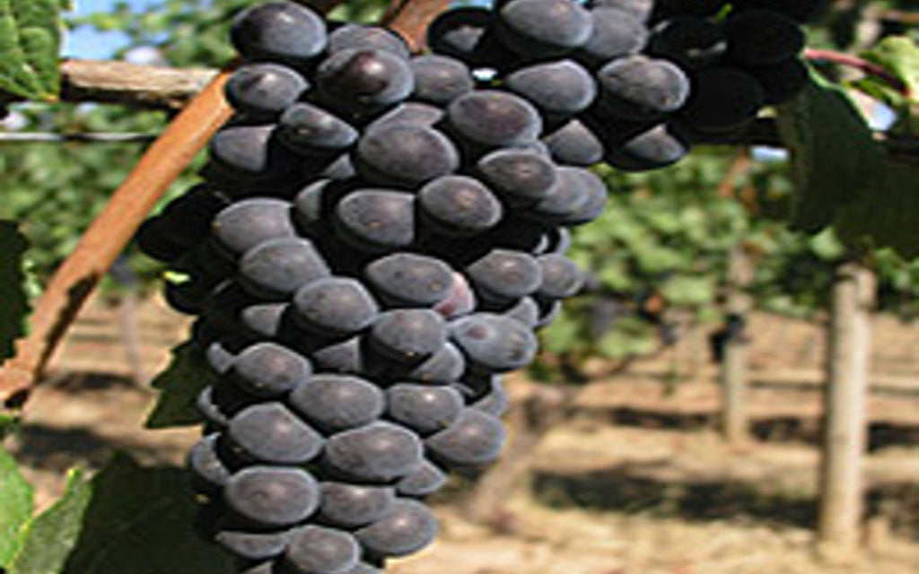 <b>What's so special about Pinot noir grapes?</b>