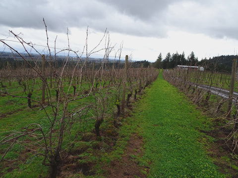 Holloran Vineyards unpruned rows of grapes