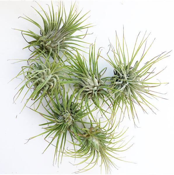 Airplant- Small