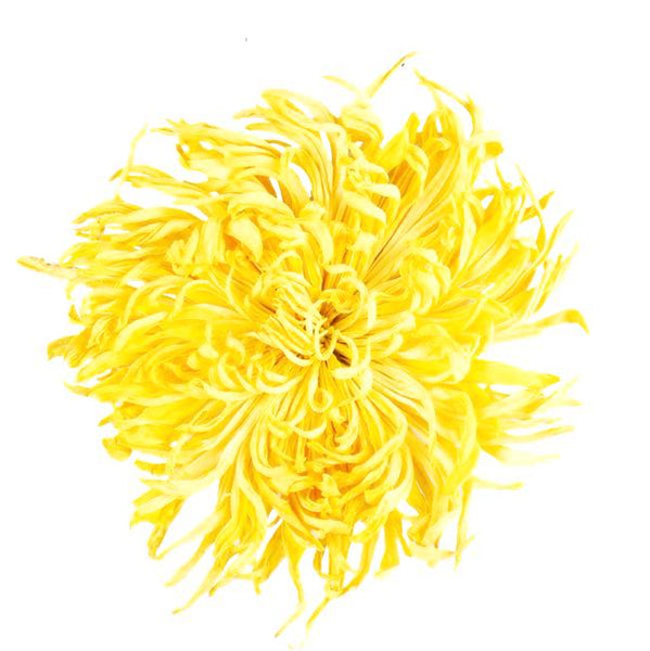 King Chrysanthemum 金丝皇菊