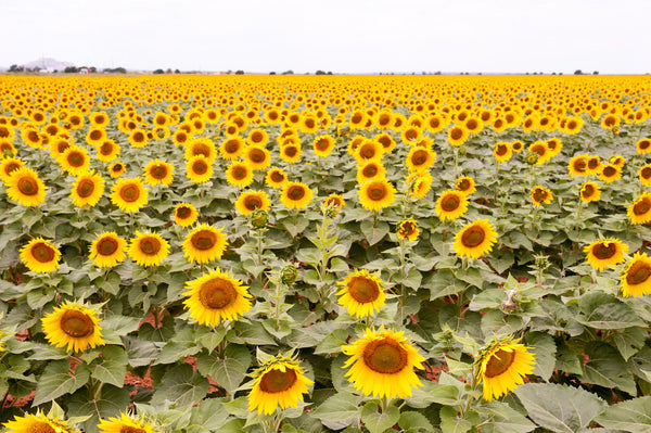 A photo of a sunflower field. Photo is a free high resolution stock image to use any way you choose.
