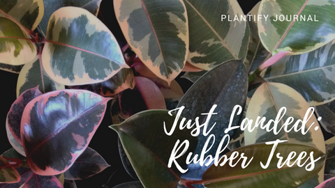 Rubber Trees House Plants: Now Landed