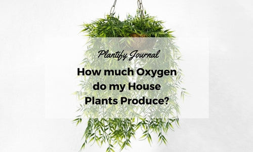 How much Oxygen do my House Plants Produce?