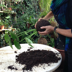 The Soil mix is compacted around the mossball