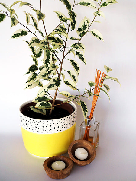 Ficus Starlight in Polka Dot Pot delivered to your Door