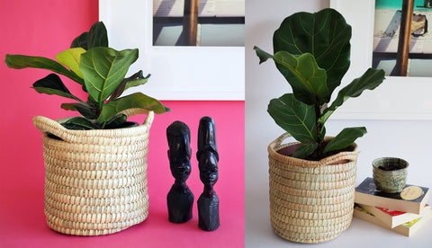 Plantify Fiddle leaf fig basket interior style