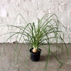 Ponytail Palm Indoor Plant