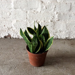 Snake Plant - Mother-in-Law's Tongue