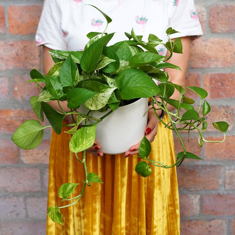 Scindapsus Marble Queen Care Instructions