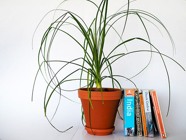 Ponytail Palm in Terracotta delivered to your Door