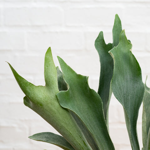 Staghorn Fern Foliage