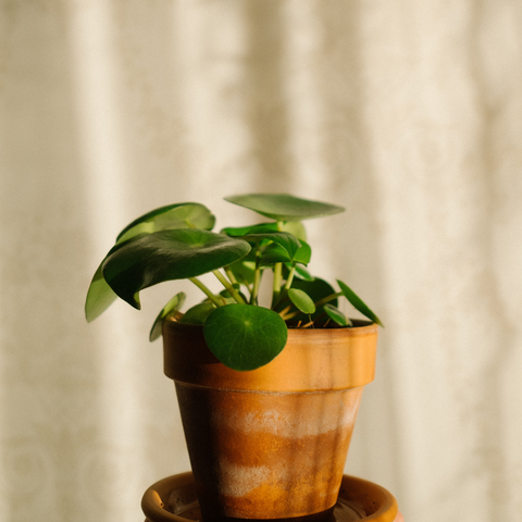 Chinese Money Plant Care Instructions